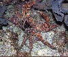 Channel Clinging Crab (King Crab)