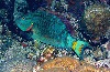 Stoplight Parrotfish sleeping at night